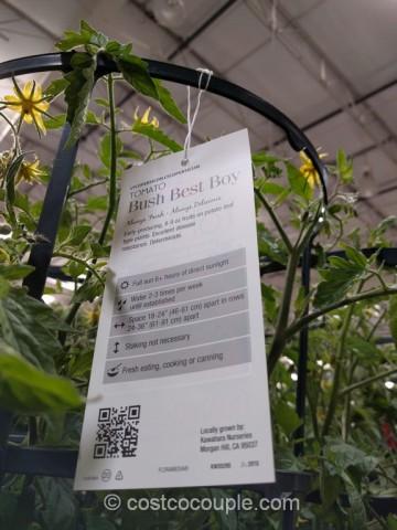 Tomato Plant With Cage Costco 5