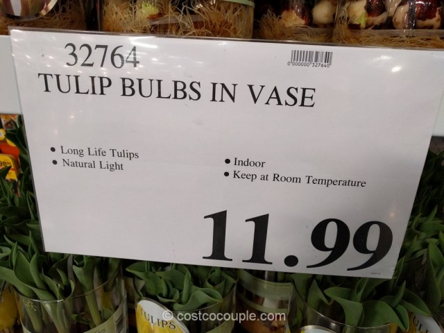Tulip Bulbs In Vase Costco 1