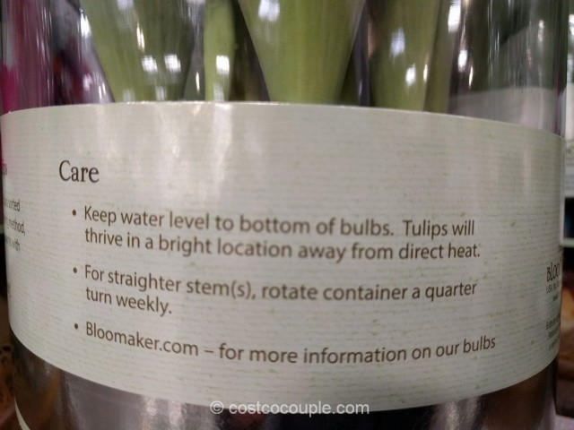 Tulip Bulbs In Vase Costco 4