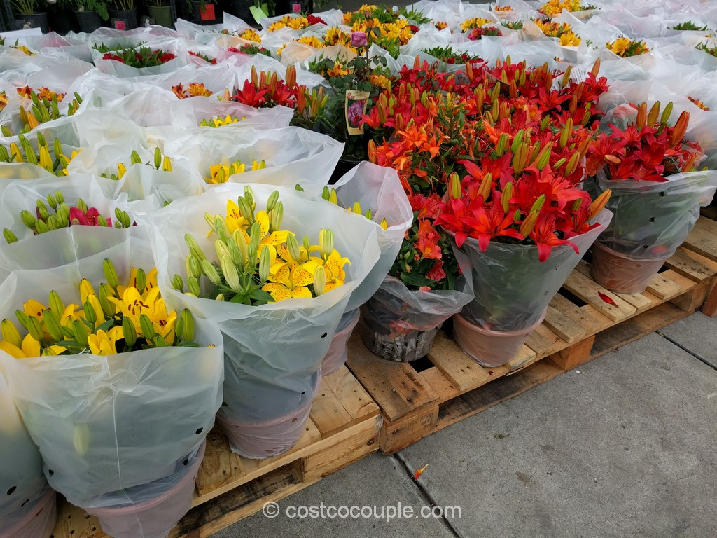 Hybrid Lily Costco 4