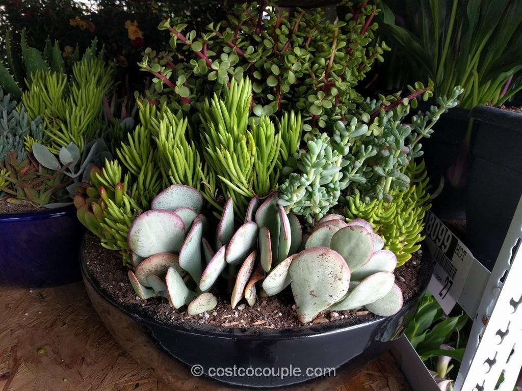 Succulent Garden Costco 5
