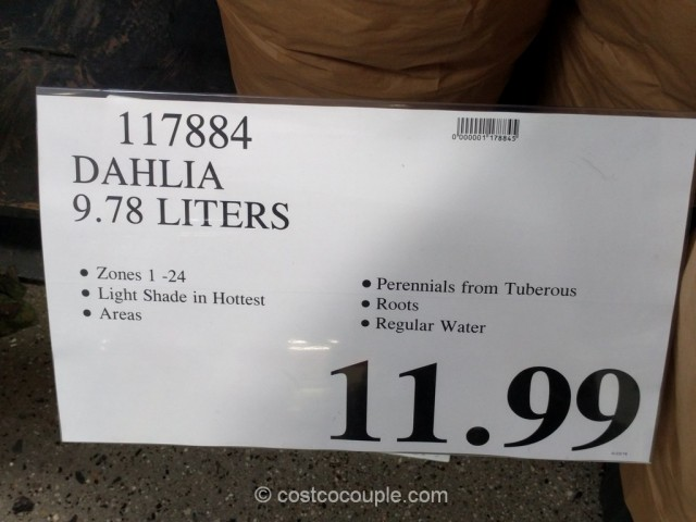 Dahlia Costco 1