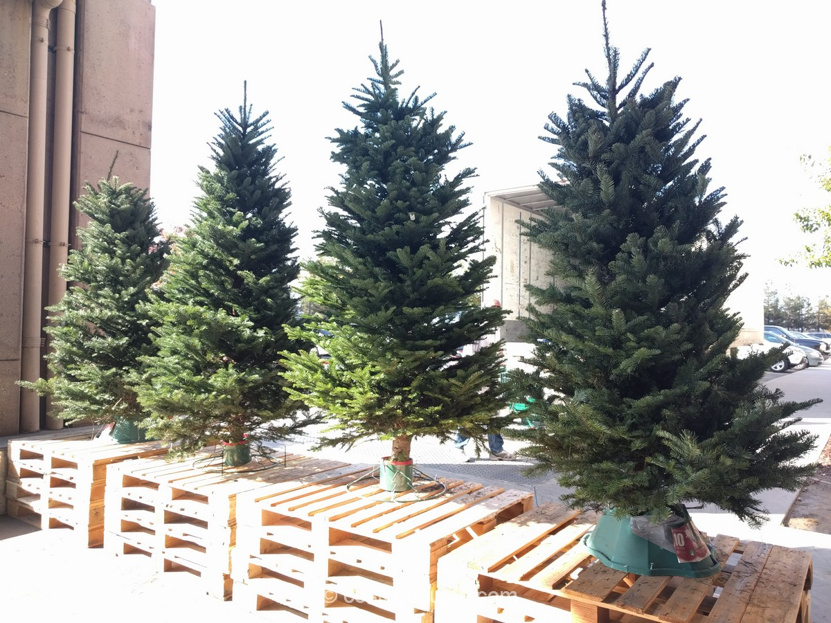 noble-fir-christmas-tree-costco-1