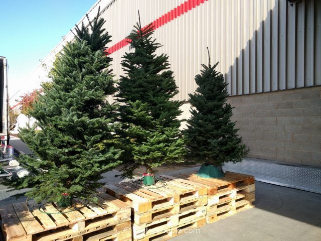 noble-fir-christmas-tree-costco-3