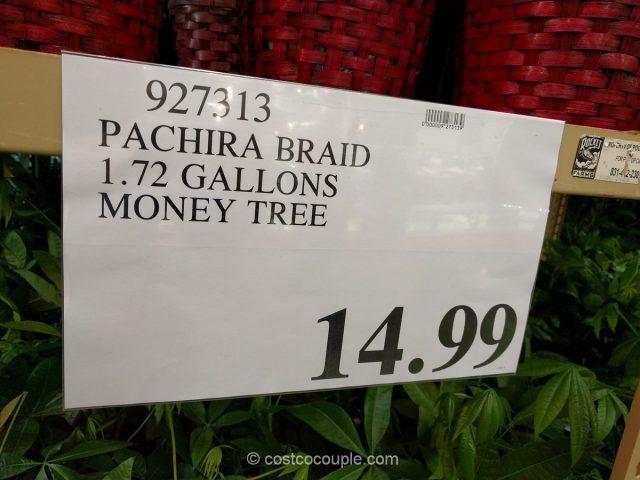 Pachira Braid Money Tree Costco 1
