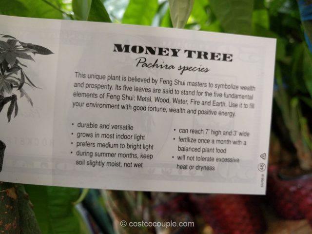 Pachira Braid Money Tree Costco 3