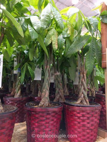 Pachira Braid Money Tree Costco 4