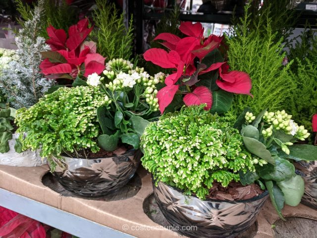 Large Holiday Planter Costco