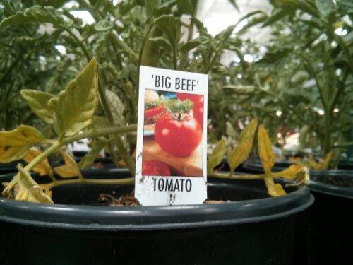 Big Beef Tomato Plant at Costco
